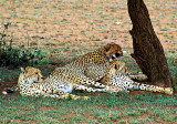 Cheetah Pile-up
