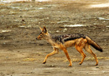 Silver-backed Jackal (Canis mesomelas)