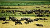 Ngorongoro Buffalo Herd