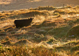 Black Cow Dawn