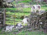 Goats, Gates & Walls