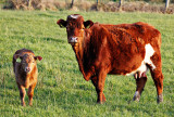Red Cow + Calf