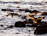 Turnstones at Sunset