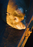 Sea-lion resting