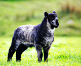 Mountainy Lamb