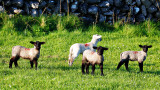 3 Black Lambs