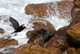 African Black Oystercatcher