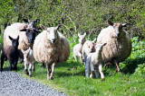 Spring Lamb on the Hoof