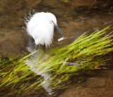 Fishing Egret