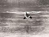Swan Landing in Fog