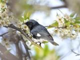 Black-throated blue warbler 2