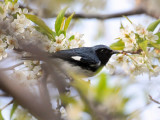 Black-throated blue warbler 4