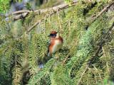 Bay-breasted warbler1.jpg
