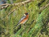 Bay-breasted warbler2