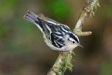 Black and White Warbler.jpg