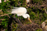 Great Egret 2.jpg