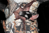 Spotted Bat 2.jpg