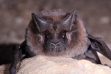 Big Free-tailed Bat 3.jpg