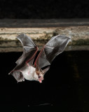 California Leaf-nosed Bat 1.jpg