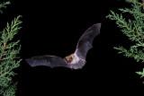 Fringed-tailed Bat.jpg