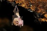 Ghost-faced Bat 5.jpg