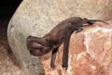 Greater Mastiff Bat 2.jpg