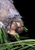 Hoary Bat 2.jpg