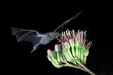 Lesser Long-nosed Bat.jpg