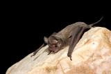 Pocketed Free-tail Bat.jpg