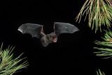 Silver-haired Bat 2.jpg