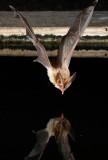 Townsends Big-eared Bat 3.jpg