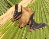 Western Yellow Bat 1.jpg