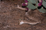 Western Diamondback rattlesnake eating Merriams kangraoo rat1.JPG