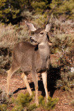 Rocky Mountain Mule Deer doe