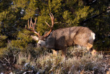 Rocky Mountain Mule Deer buck