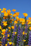Lupine and California Poppies