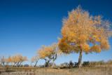 Populus Diversifolia