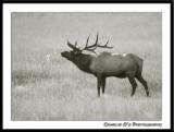 Black and White Bull Elk...