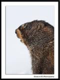 Whistle Pig Portrait...