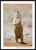 The Prairie Dog Dance...