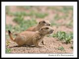 Little baby Prairie Dog's