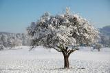 Apple tree in a winter dress