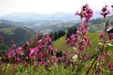 Napf-Area through the summer flower