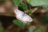 Tropical Checkered Skipper, Tarapoto, Peru