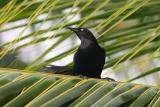 Greater Antillean Grackle, La Parguera