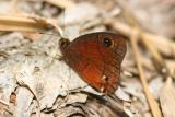 Satyr/Wood-nymph Type Butterfly, Maricao State Forest,
