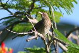Pearly-eyed Thrasher,Guanica