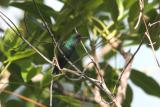 Purto Rican Emerald, Maricao State Forest