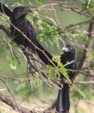 Smooth-billed Ani, La Parquera