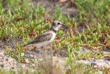 Wilson's Plover, Guanica State Forest